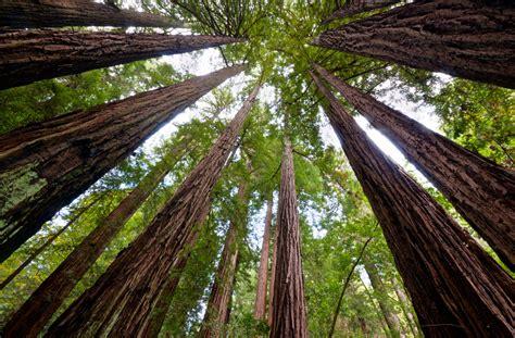 Redwood-Grove